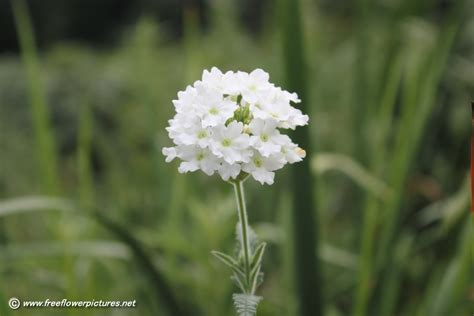 verbena shrub with white flowers white verbena picture flower pictures 4953