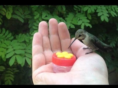 hummingbird hand feeding youtube