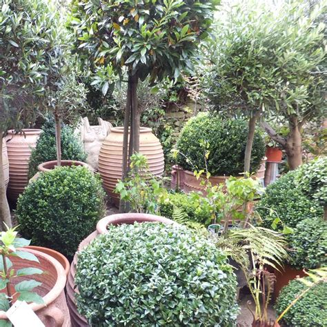topiary plants for sale large topiary forms pictures images photos photobucket