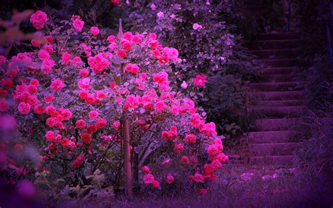 beautiful color beautiful color roses wallpaper 18577543 fanpop