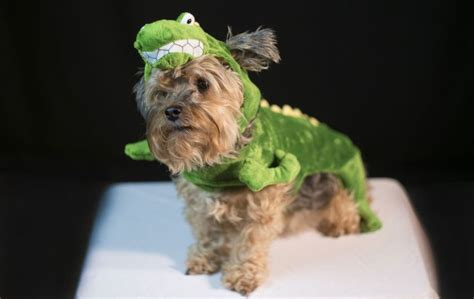 yorkies in costumes yorkie in a costume costumes for