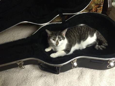 Gitar Animal Free Photo Cat Guitar Animal Free Image On