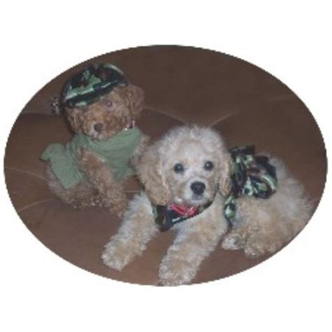 cockapoo puppies for sale in ga cockapoo breeders in freedoglistings