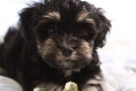 black havanese simon the king black and havanese puppy unavailable akc havanese puppies