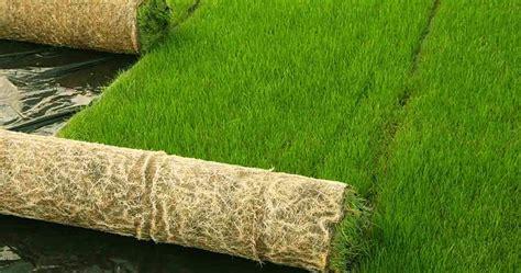 Benih Bermuda Grass bermuda grass blend biji rumput bermuda grass seed