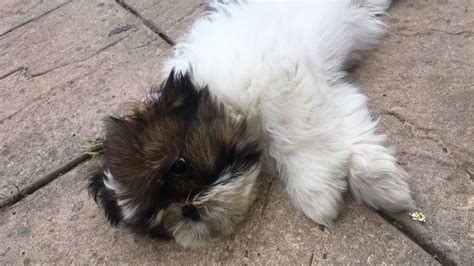shih tzu for sale in essex shih tzu puppies for sale colchester essex pets4homes