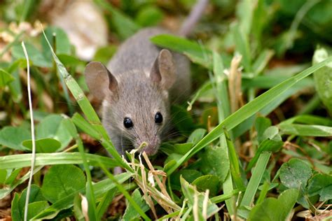 mouse elimination and you keeping mice out of your home
