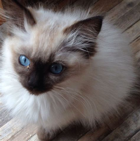 cats for sale plymouth stunning ragdoll kitten plymouth pets4homes