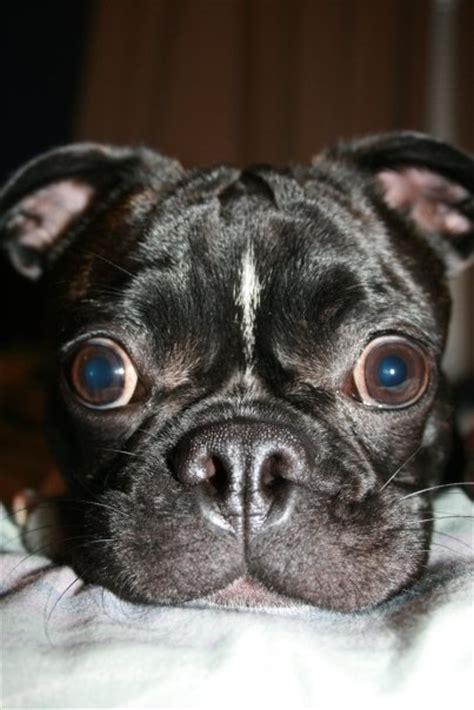 lifespan of a boston terrier pug mix 232 best images about bugg dogs on memes best dogs and brindle pug