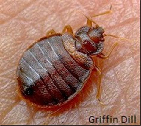 how long can bed bugs live without feeding bed bugs umaine cooperative extension insect pests
