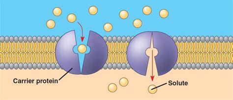 2 proteins in facilitated diffusion facilitated diffusion diagram facilitated free engine