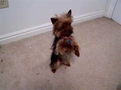 are yorkies smart dogs smartest yorkie puppy such a terrier