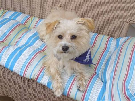 yorkie poo for adoption yorkie poo for sale adoption from westerly rhode island providence adpost