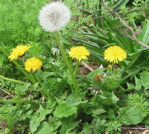 most common garden flowers common garden weeds identification