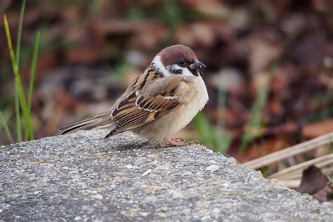 tree sparrow song call voice sound
