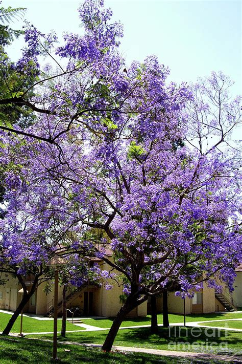 blooming tree with purple flowers by mariola bitner