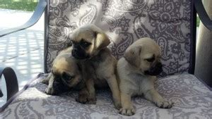 free puppies baltimore maryland dogs baltimore md free classified ads