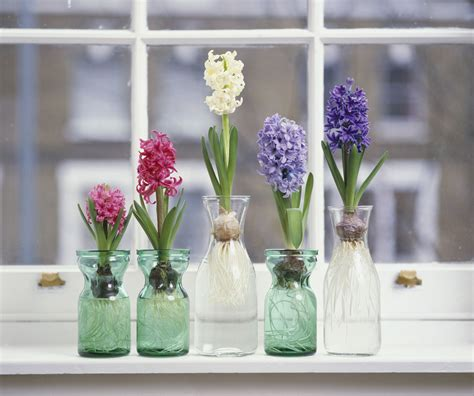 Indoor Plants For Cats by How To Grow Hyacinth Flowers Indoors