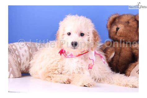 pooton puppies for sale meet deedee a malti poo maltipoo puppy for sale for 199 deedee pooton