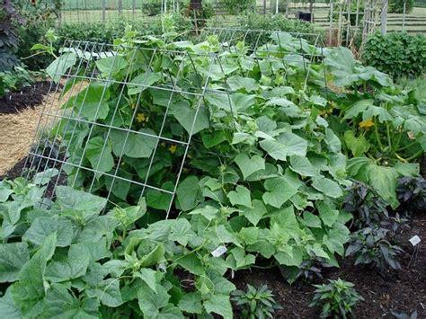 cetrioli in vaso coltivare cetrioli coltivare orto coltivazione cetrioli