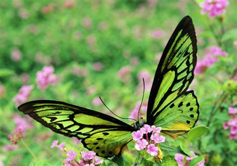 wallpaper green butterfly green butterfly wallpaper funny animal