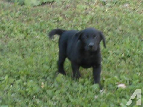 lab puppies for sale in delaware akc black lab puppies for sale in de graff ohio classified americanlisted
