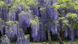 Wisteria wisteria tree related keywords amp suggestions wisteria tree long tail
