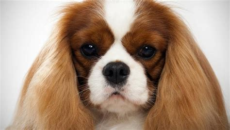 king charles puppy cavalier king charles spaniel breed selector animal planet