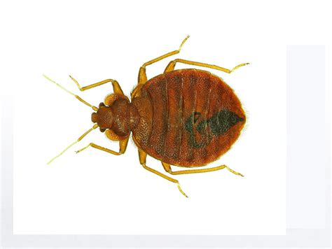 bed bug types types of pests pest identification barnes exterminating