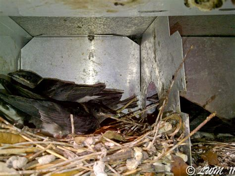 big update on purple martin nesting butterfly and
