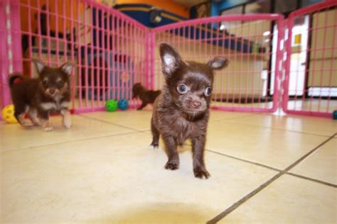 chihuahua puppies for sale in ga handsome tcup chocolate chihuahua puppies for sale in ga at puppies for sale local