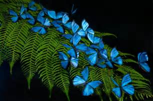 Blue morpho butterfly replicas photographed on a beautiful fern
