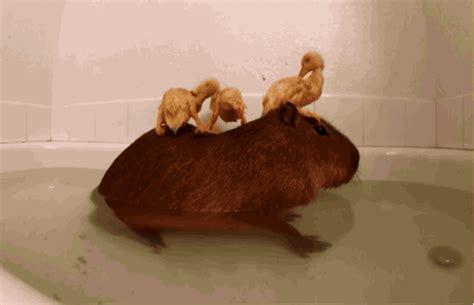 capybaras       species