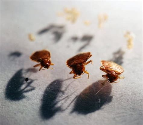 don t panic bugs that bedbugs are here don t panic officials say but don t