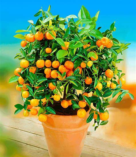 sternenzauber baum orangen b 228 umchen top qualit 228 t kaufen baldur garten