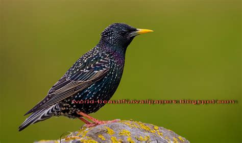 beautiful wallpapers starling bird wallpaper