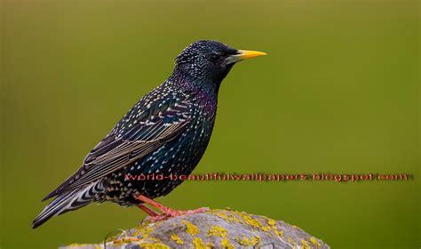 beautiful wallpapers starling bird wallpaper
