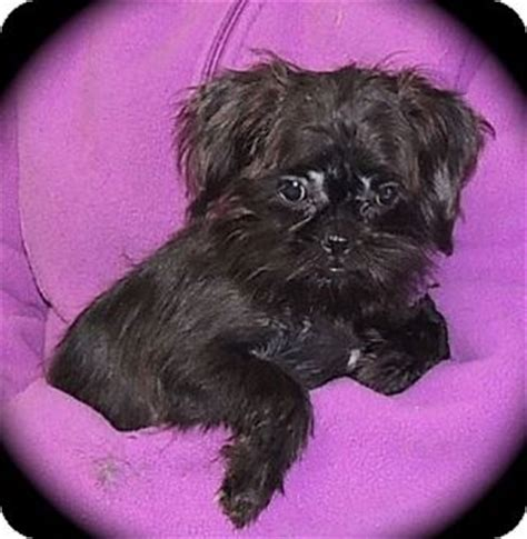 brussels shih tzu mix pet not found