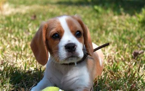 when is a no longer considered a puppy crossbreed dogs 15 of the best non pedigree chums