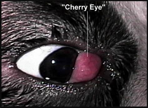 cherry eye treatment cherry eye ibostonterrier ibostonterrier