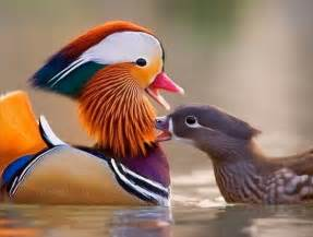 colorful ducks best 20 mandarin duck ideas on pretty birds