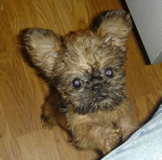 brussels griffon puppy puppies brussels griffon puppy