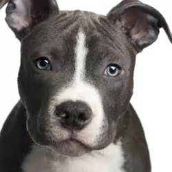 american pitbull terrier colors pitbulls september 2013