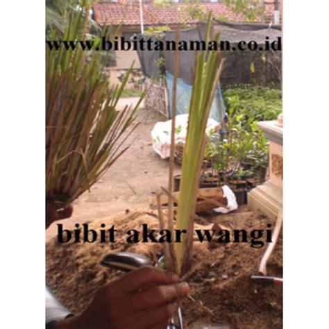 Jual Bibit Bunga Wangi jual bibit tanaman unggul murah di purworejo