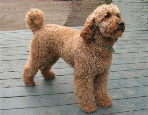 mini goldendoodles louisiana doodle goldendoodle and labradoodle mix my