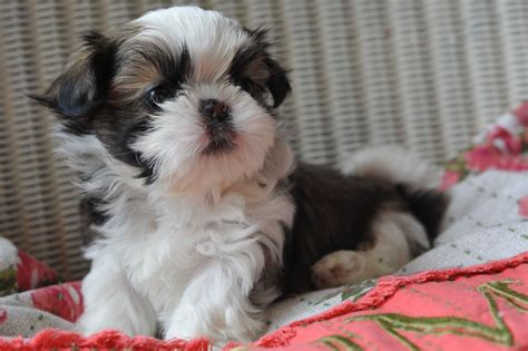 tea cup shih tzu puppies teacup shih tzu puppies for sale history temperament
