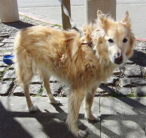golden retriever wolf mix of the day dancer the golden retriever husky mix the dogs of san francisco