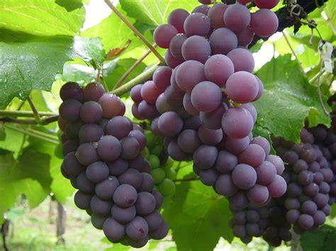 imagenes de uvas naturales os 10 benef 237 cios da uva para sa 250 de dicas de sa 250 de