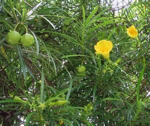 Flowering Oleander - thevetia peruviana