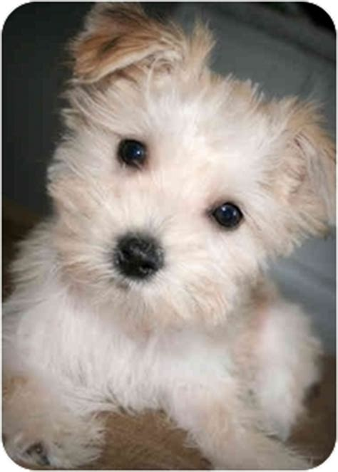 maltese yorkie mix puppies adoption coconut adopted puppy buckeye lake oh maltese yorkie terrier mix